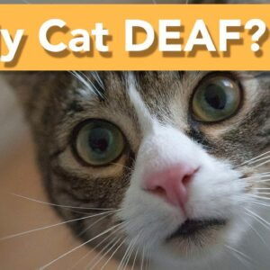 How to Care for a Deaf Cat - TOP CARE TIPS