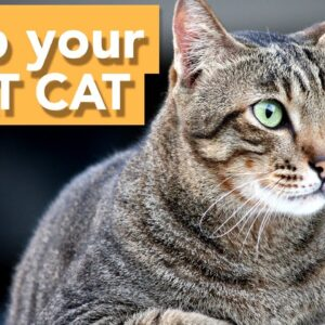 How to Know if Your Cat is OVERWEIGHT! - Help Your Cat Lose Weight