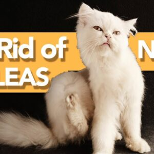 How to Get Rid of ALL Fleas on Cats and In the House PERMANENTLY!